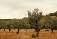 Olive trees plantation, Greece Stock Images