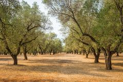 Olive trees plantation Royalty Free Stock Image