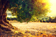 Olive trees. Plantation of olive trees at sunset Stock Image