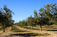 Olive trees plantation in Spain stock photos
