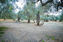 Olive trees plantation in Thassos, Greece Royalty Free Stock Photography