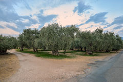 Olive trees plantation in Thassos, Greece Stock Photos