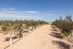 Olive trees plantation Stock Image