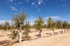 Olive trees plantation Royalty Free Stock Photo