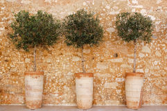 Olive trees in a pot on Crete Stock Images