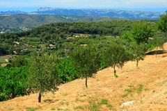 Olive-trees in provence Royalty Free Stock Photography