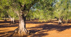 Old olive trees in South Italy Stock Photos