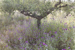 Olive trees and purple thistle flowers near stoupa in mani on gr Royalty Free Stock Image