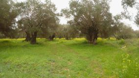 Olive trees in the rain, green grass in the winter. Ancient Olive Trees, a collection of landscapes in an old olive garden in winter. The garden was planted 800 stock video footage