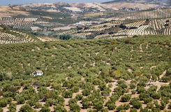 Olive trees reaching to horizon in Andalucia Stock Photos