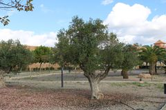 Olive trees in a recreational park royalty free stock photo