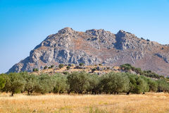 Olive trees. Rhodes, Greece Stock Images