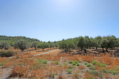 Olive trees in Rhodes island Royalty Free Stock Photography
