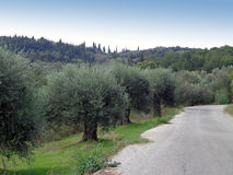 Olive trees and the road Royalty Free Stock Photos