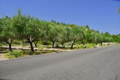 Olive trees by the road Stock Photos