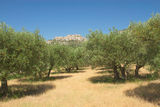 Olive trees in row. Royalty Free Stock Photography
