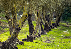 Olive trees. A row of olive trees in the afternoon Stock Photography