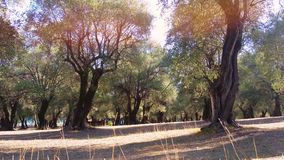 Olive Trees in a Row stock footage
