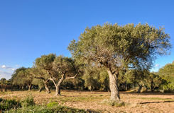 Olive trees in a row. Catalonia, Spain. Stock Image