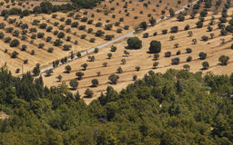 Olive trees in a row plantation Royalty Free Stock Photos