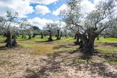Olive trees in a row stock photo