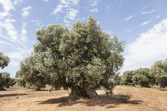 Olive trees in the Salento, Italy Royalty Free Stock Images
