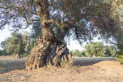 Olive trees in the Salento, Italy Royalty Free Stock Image