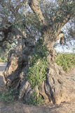 Olive trees in the Salento, Italy Royalty Free Stock Photo