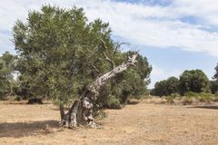 Olive trees in the Salento, Italy Royalty Free Stock Photos