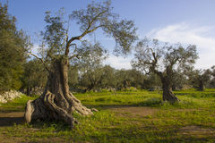 Olive trees. Salento, Puglia, Italy. Olive trees in a cultivated field. Italy, Apulia, Salento Stock Images