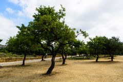 Olive Trees. In a sand field. Sicily, Agrigento, Valle Dei Templi Stock Images