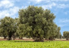 Olive trees, Savelletri Di Fasano. Picture are olive trees in Savelletri Di Fasano, Puglia, Italy. The olive tree had its origins some 20–40 million years ago royalty free stock image