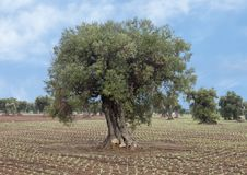 Olive trees, Savelletri Di Fasano. Picture are olive trees in Savelletri Di Fasano, Puglia, Italy. The olive tree had its origins some 20–40 million years ago royalty free stock photos