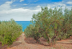 Olive trees on the sea coast in Italy Royalty Free Stock Image