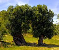 Olive trees secular in the countryside of Apulia Stock Photos