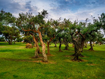 Olive Trees in Sicilia Fotografia Stock