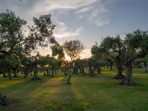 Olive Trees in Sicilia Fotografie Stock Libere da Diritti