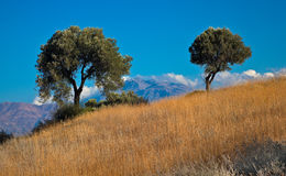 Olive trees on side of hill against blue sky Royalty Free Stock Image