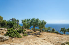 Olive trees on slope Royalty Free Stock Images