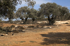 Olive Trees on the Slopes of the Mountains Stock Photography