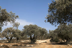 Olive Trees on the Slopes of the Mountains Royalty Free Stock Photos