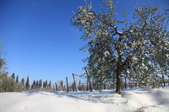 Olive trees in snowy vineyard. Scenic view of snow covered olive trees in Wintry vineyard royalty free stock images
