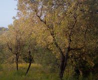 Olive trees. Some olive trees during the sunrise in tuscany, italy royalty free stock photography