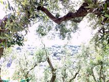 Olive trees,in the Sorrento countryside royalty free stock image