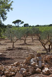 Olive trees south of france Stock Images