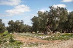 Olive trees. In south italy countryside Royalty Free Stock Photography