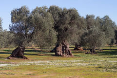 Olive trees. South Italy countryside Royalty Free Stock Images
