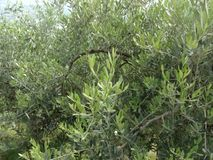 Olive trees, South Italy. royalty free stock images