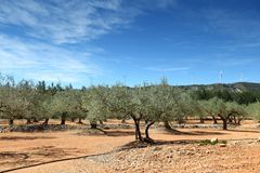 Olive Trees in spain Royalty Free Stock Photography
