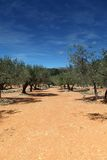 Olive Trees in spain Stock Image